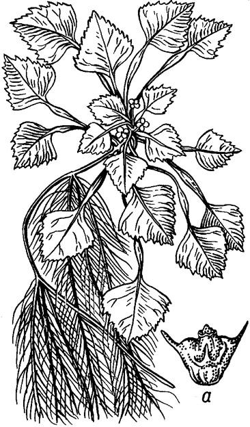 раскраска водяного ореха листов